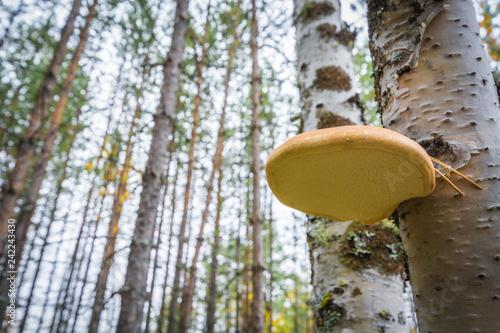 Chaga mushroom grows on birch in forest.