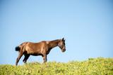 caballo marrón negro pura sangre corre prado cielo azul y calor - 242243888