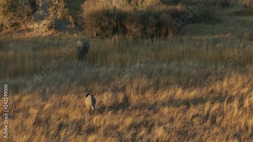 Cinematic aerial of Elephants in the Okavango Delta in Botswana Africa at sunrise
