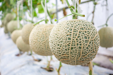 Fresh green Japanese cantaloupe melons plants growing in organic greenhouse garden