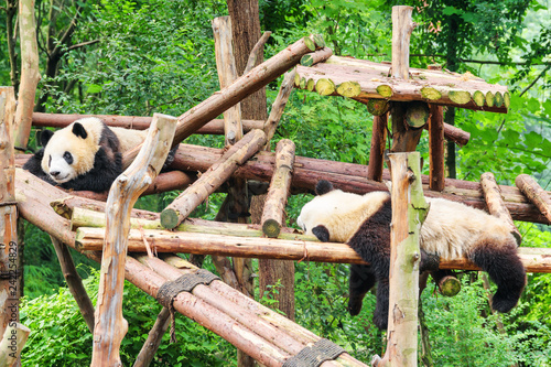 Two funny young giant pandas resting in green woods
