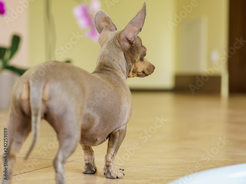Little dog pinscher indoor
