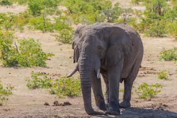 one african elephant (loxodonta africana) standing in savanna