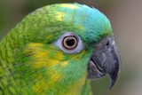 Close up Marco view of Green yellow color parrot