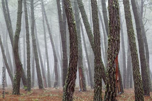 Bosque de pino negral en invierno con aprovechamiento de resina. Pinus pinaster.