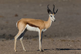 Fototapeta Sawanna - detailed side view on springbok (antidorcas marsupialis) standing © Pascal Halder