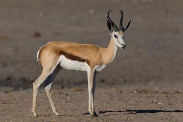 detailed side view on springbok (antidorcas marsupialis) standing