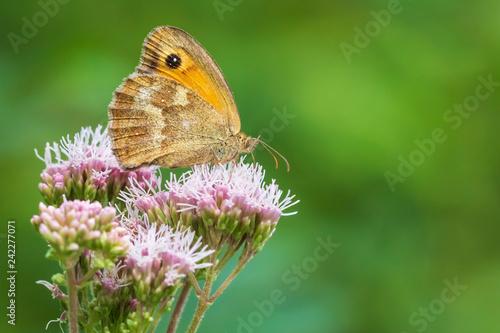 Closeup of a gatekeeper butterfly, Pyronia tithonus - 242277071