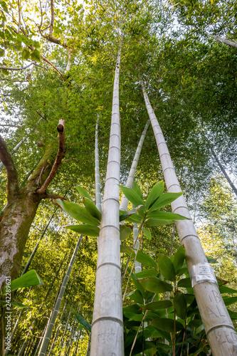 Green natural bamboo forest in Batumi botanical garden, view from below
