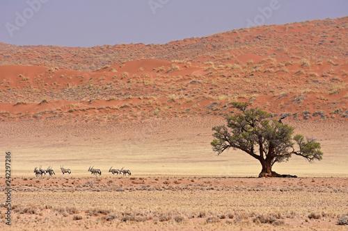 Oryx for der Elimdüne im Namib-Naukluft-Nationalpark in Namibia - 242297286