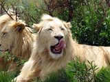 young male white lion