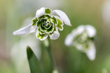 Bunch of galanthus nivalis, common snowdrop in bloom, early spring bulbous flowers, macro detail view