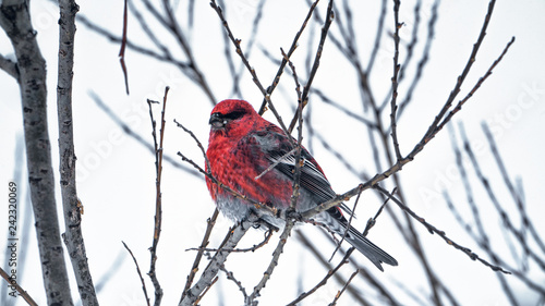 Foto Murales The bird is a red crossbill sits on the branch froze in the winter