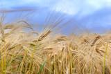 ears of grain in a field under cloudy sky - 242323606