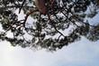 Cielo azzurro con silhouette di rami di pino