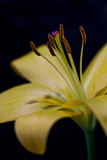 Yellow liliy isolated. Blurred , abstract floral  background. Close up.