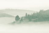 Foggy mountain ranges covered with spruce forest in the morning mist - 242335037
