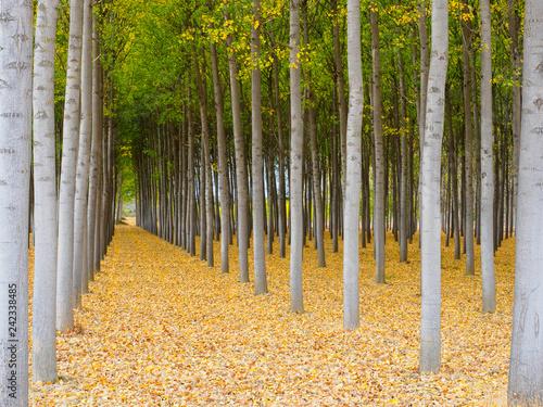 Bosque de abedules con los árboles alineados en otoño - 242338485