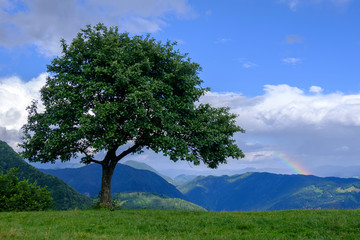 Green alpine meadow with lonely tree and rainbow in the sky.