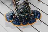 Queue de homard breton vivant après la pêche - 242341818