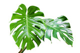 Fresh Green Leaves of Monstera Plant Isolated on White Background - 242360606