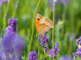 Meadow brown (Maniola jurtina) butterfly on lavender - 242361260