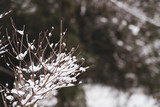 Image of small twigs under the snow. - 242367263