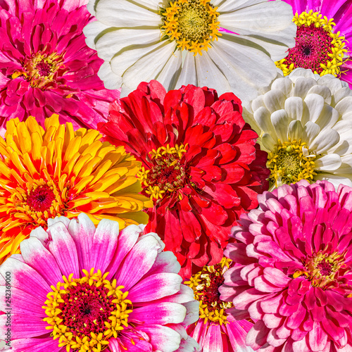 Bright collage of colorful flowers of zinnias