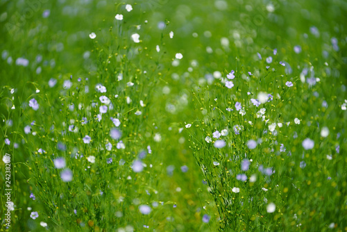 亜麻の花畑 - 242382087