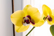 Leinwanddruck Bild - yellow blooming orchid phalaenopsis near the window
