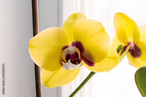 Leinwanddruck Bild yellow blooming orchid phalaenopsis near the window