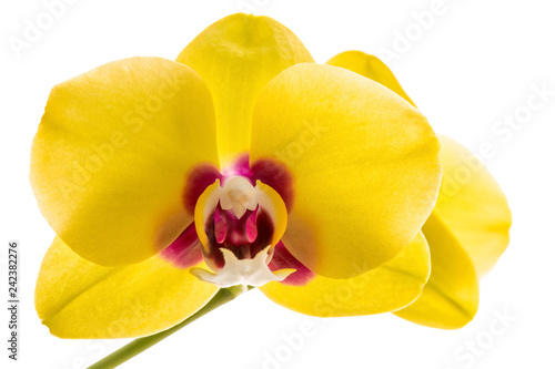 Leinwanddruck Bild phalaenopsis yellow orchid flower isolated on white