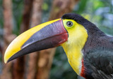 Yellow-throated toucan (Ramphastos ambiguus), portrait in the rain forest, Alajuela, Costa Rica. - 242385494