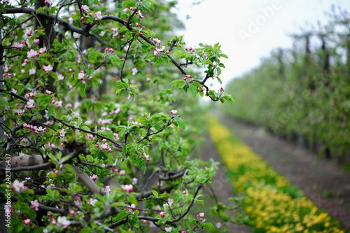 Zielony sad, białe kwiaty z różowymi akcentami