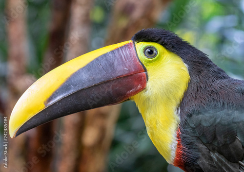Yellow-throated toucan (Ramphastos ambiguus), portrait in the rain forest, Alajuela, Costa Rica.
