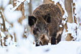 Big Boar Sus Scrofa in the winter snowy forest - 242386610