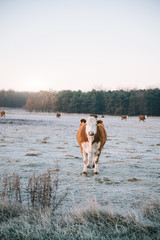 Cow standing on the winter pasture