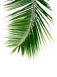 palm coconut leaves on white background - 242399804
