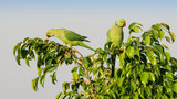 A Pair of Ringnecked Parakeets