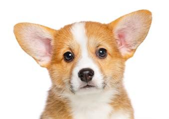 Welsh corgi puppy Dog Isolated on White Background in studio