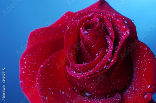 Red rose. Close-up. Blue background - 242424492
