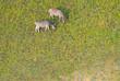 Zebras grasen auf den grünen Weiden im Okavango Delta, Botswana, Luftaufnahme