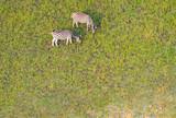Fototapeta Fototapeta z zebrą - Zebras grasen auf den grünen Weiden im Okavango Delta, Botswana, Luftaufnahme © Manok