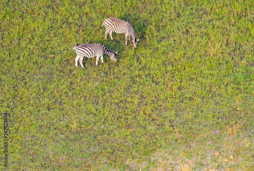 Zebras grasen auf den grünen Weiden im Okavango Delta, Botswana, Luftaufnahme - 242427444