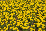 Tagetes erecta, the Mexican marigold or Aztec marigold, is a species of the genus tagetes native to Mexico. Despite its being native to the Americas, it is often called African marigold. - 242430072