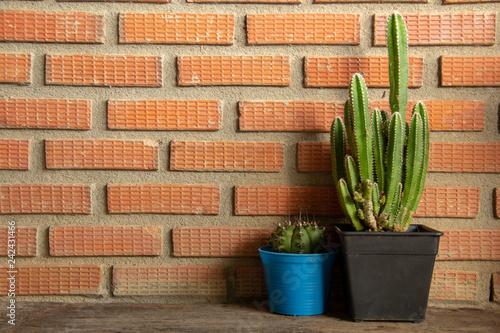 Cereus peruvianus on Red brick wall with sunlight.  - 242431466