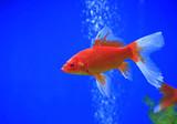 Goldfish swim in the water - 242433483