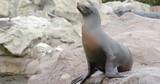 Sea lion lying on the rock - 242436808