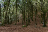beech forest, magical forest of Lazio - 242442031
