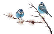blue colored two tits on cherry tree blossoming branch on white